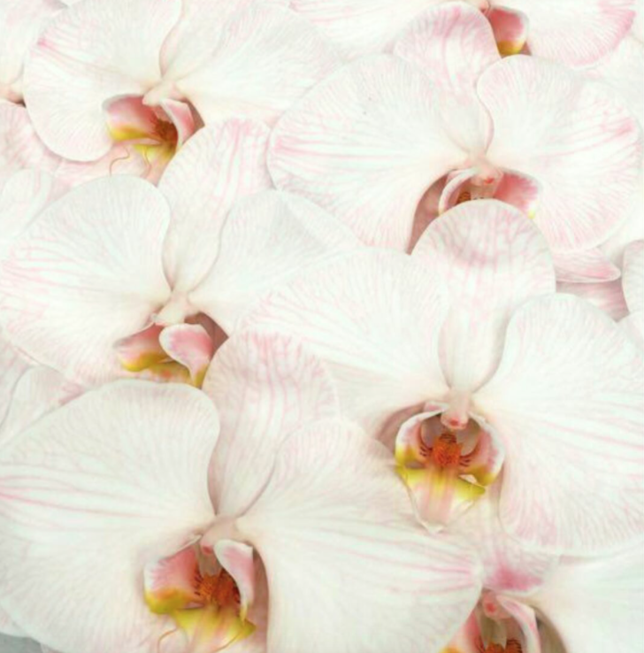 Phalaenopsis Dyed Blush pink cut stems