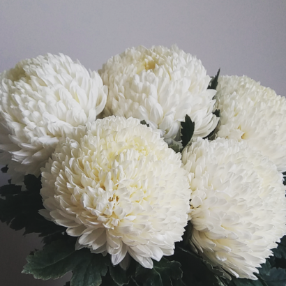 White mum disbud chrysanthemum