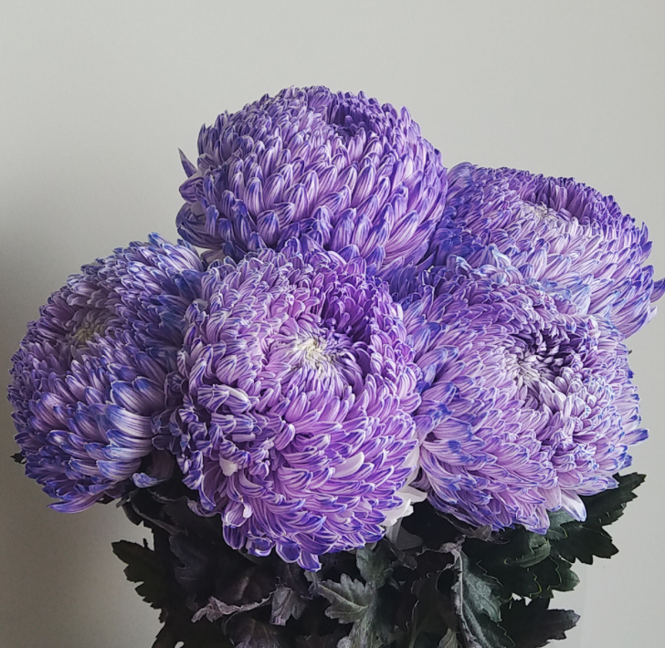 Dyed purple mum disbud