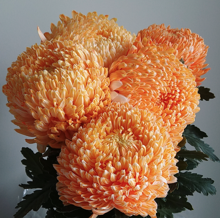 Dyed orange mum disbud