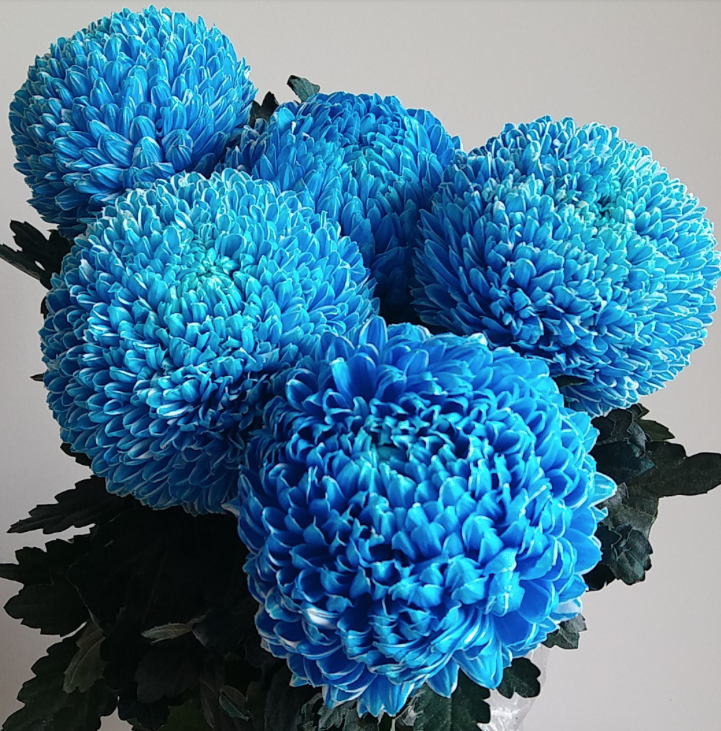 Dyed Tiffany blue mum disbud