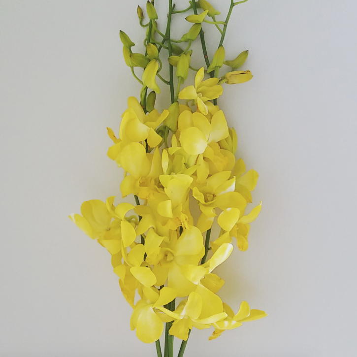 Orchids t g flower growers yellow orchid mightylinksfo