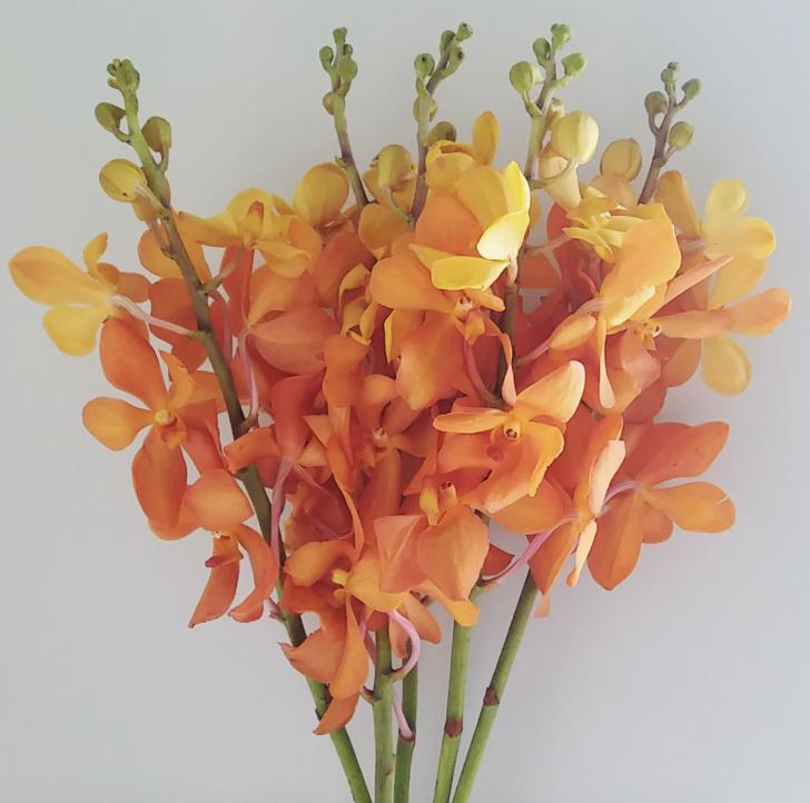 Orange/Gold vanda orchid
