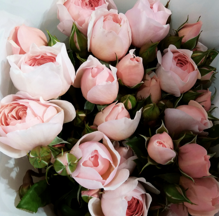 Pale pink David Austen Rose