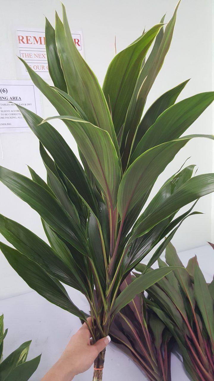 Cordaline coco green