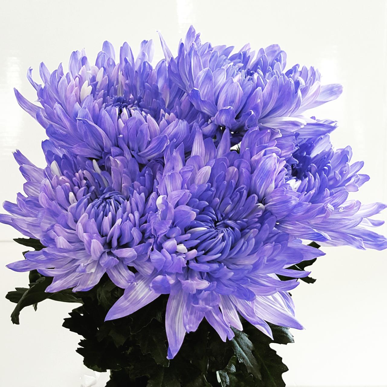 Dyed disbud purple