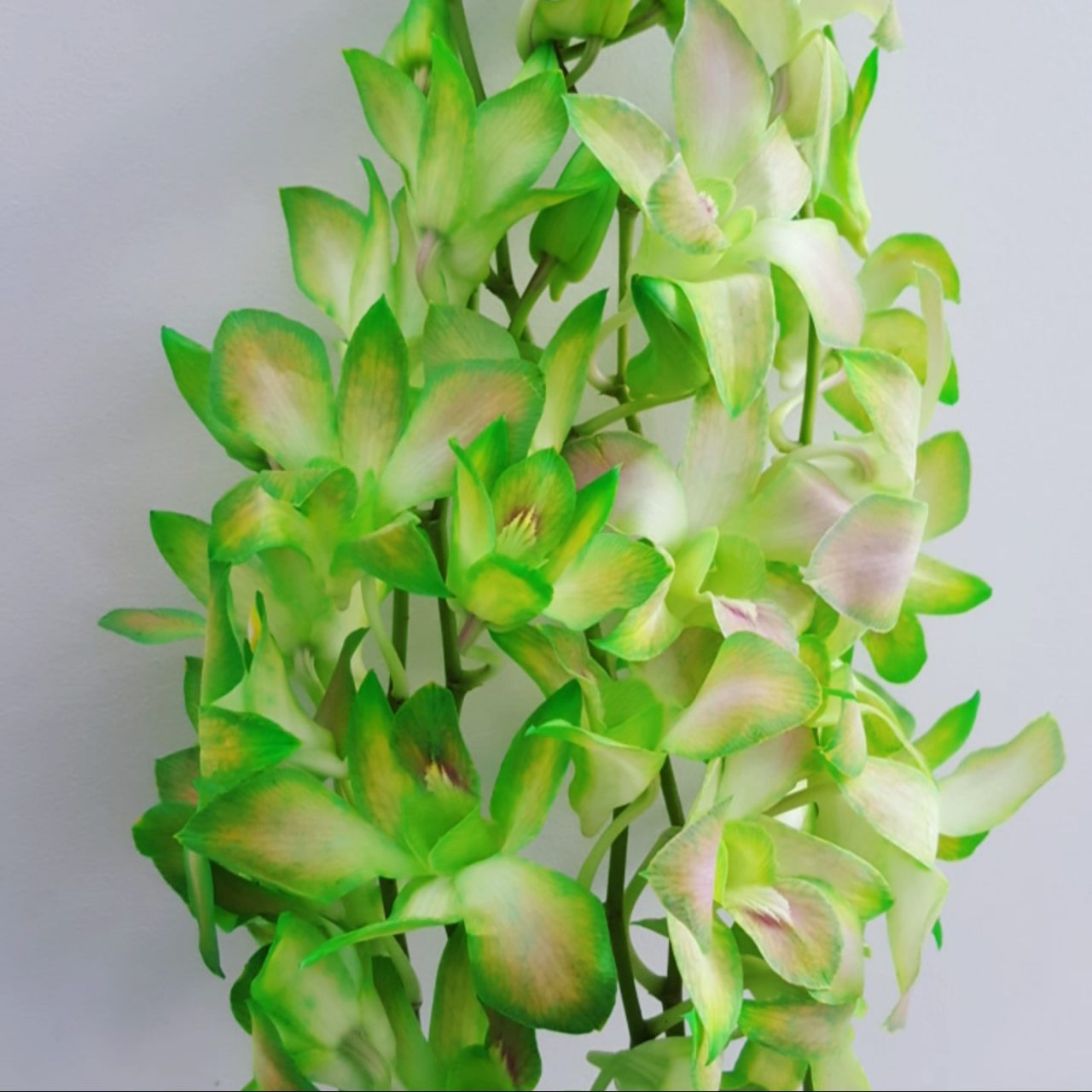 Dyed green orchid