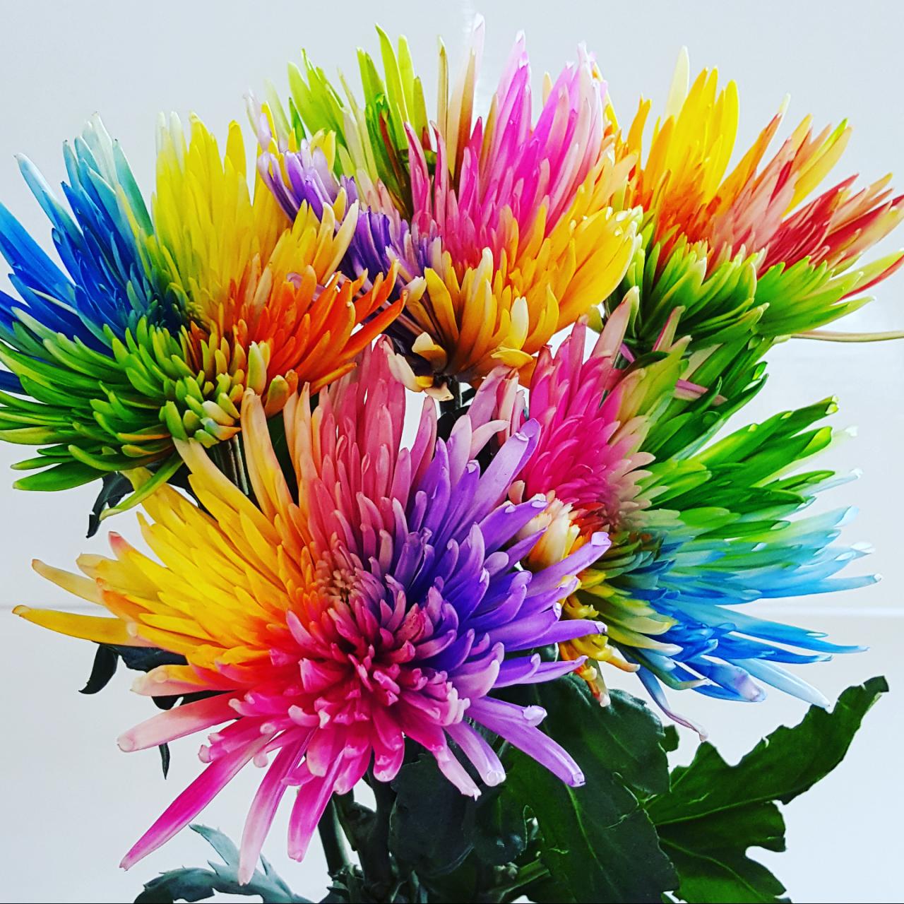 Dyed spider disbud rainbow