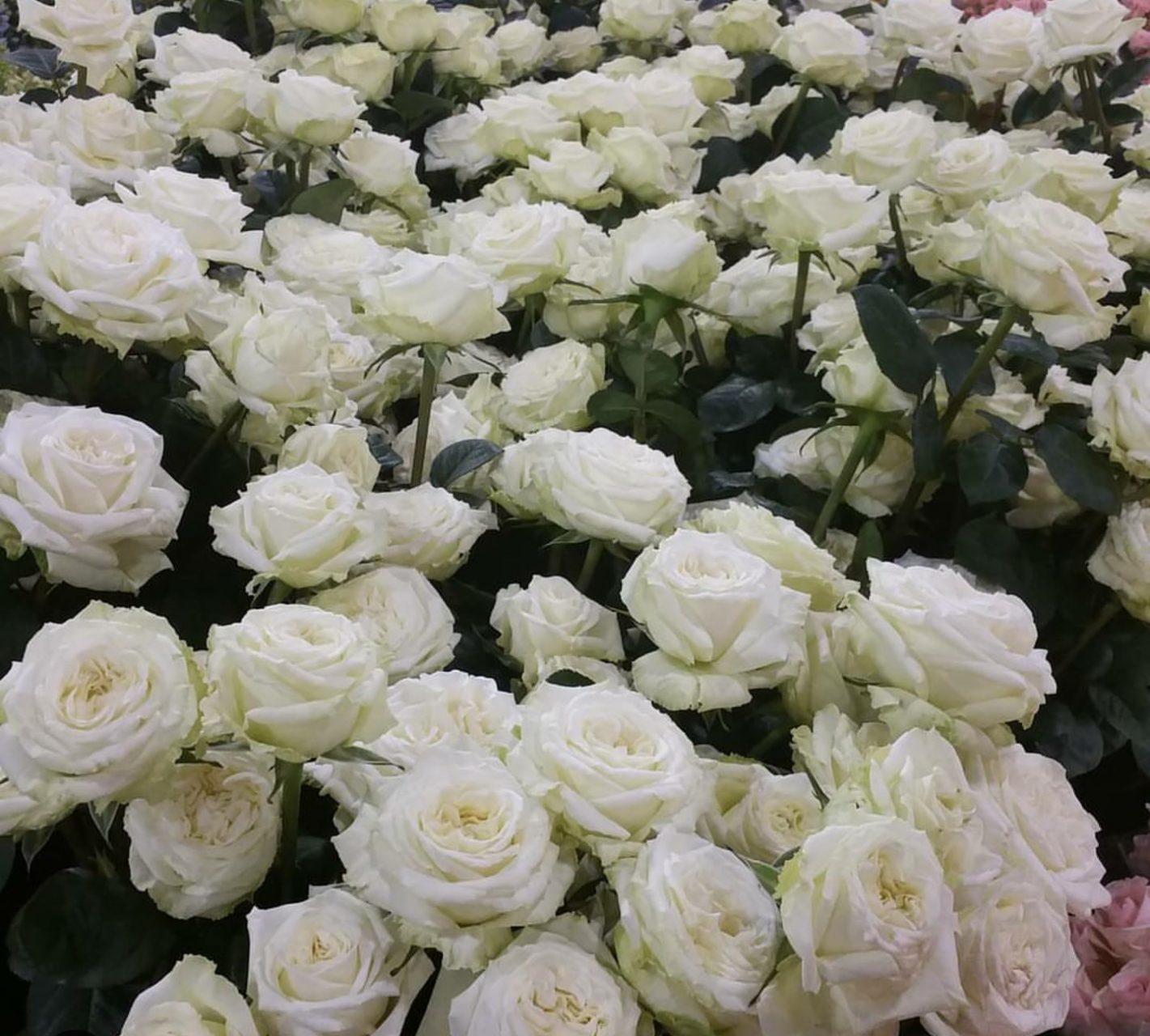 Garden white rose