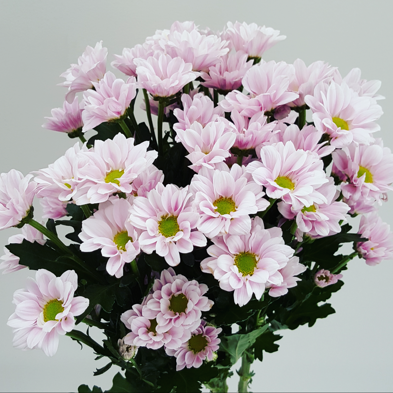 Pale pink daisy