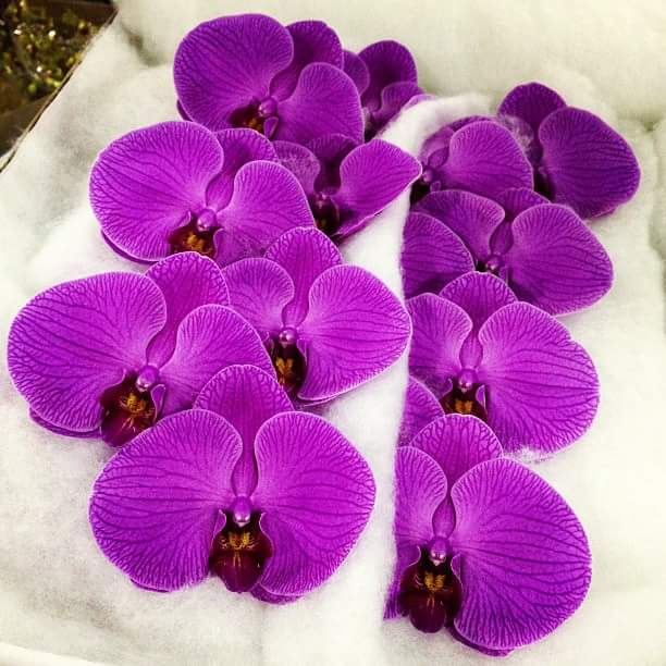 Phalaenopsis hot pink cut stems