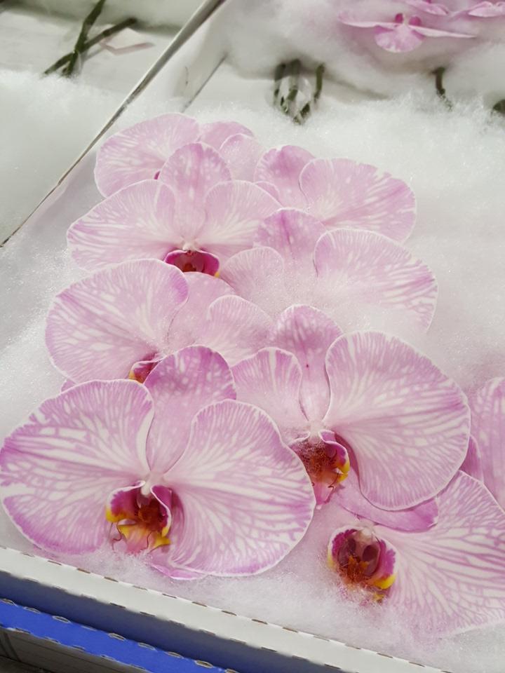 Phalaenopsis dyed pink cut stems