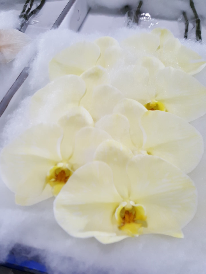 Phalaenopsis lemon cut stems