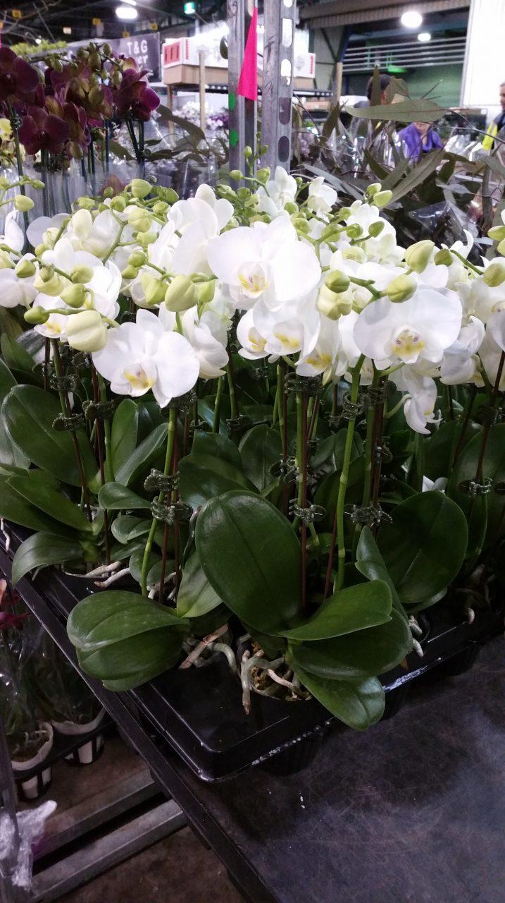 Phalaenopsis mini pot plants