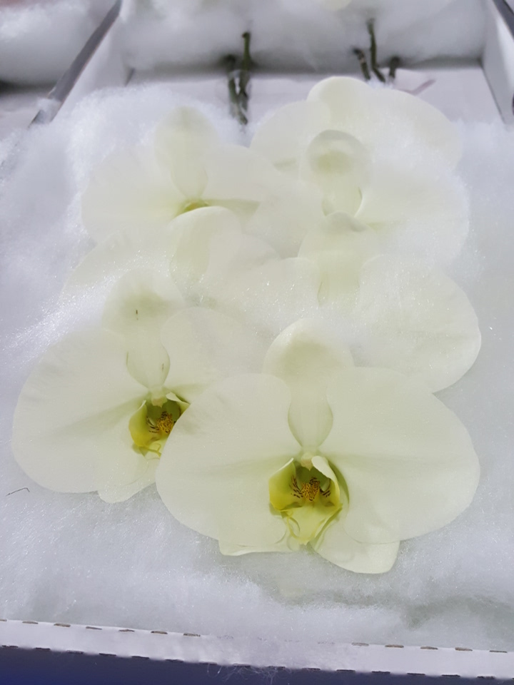 Phalaenopsis mint cut stems