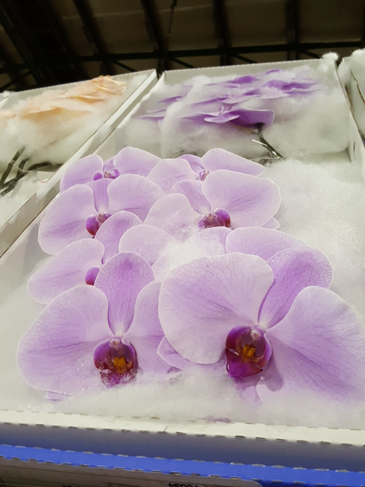 Phalaenopsis blush pink cut stems