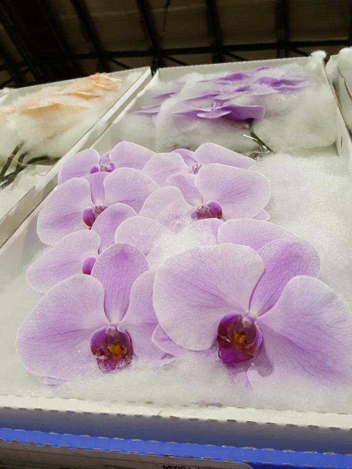 Phalaenopsis blush pink cut stems