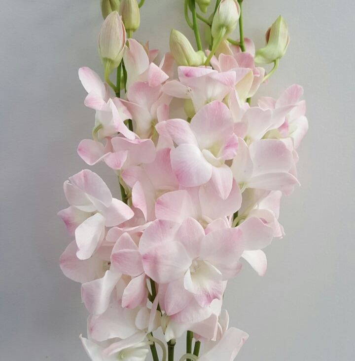 Soft pink orchid