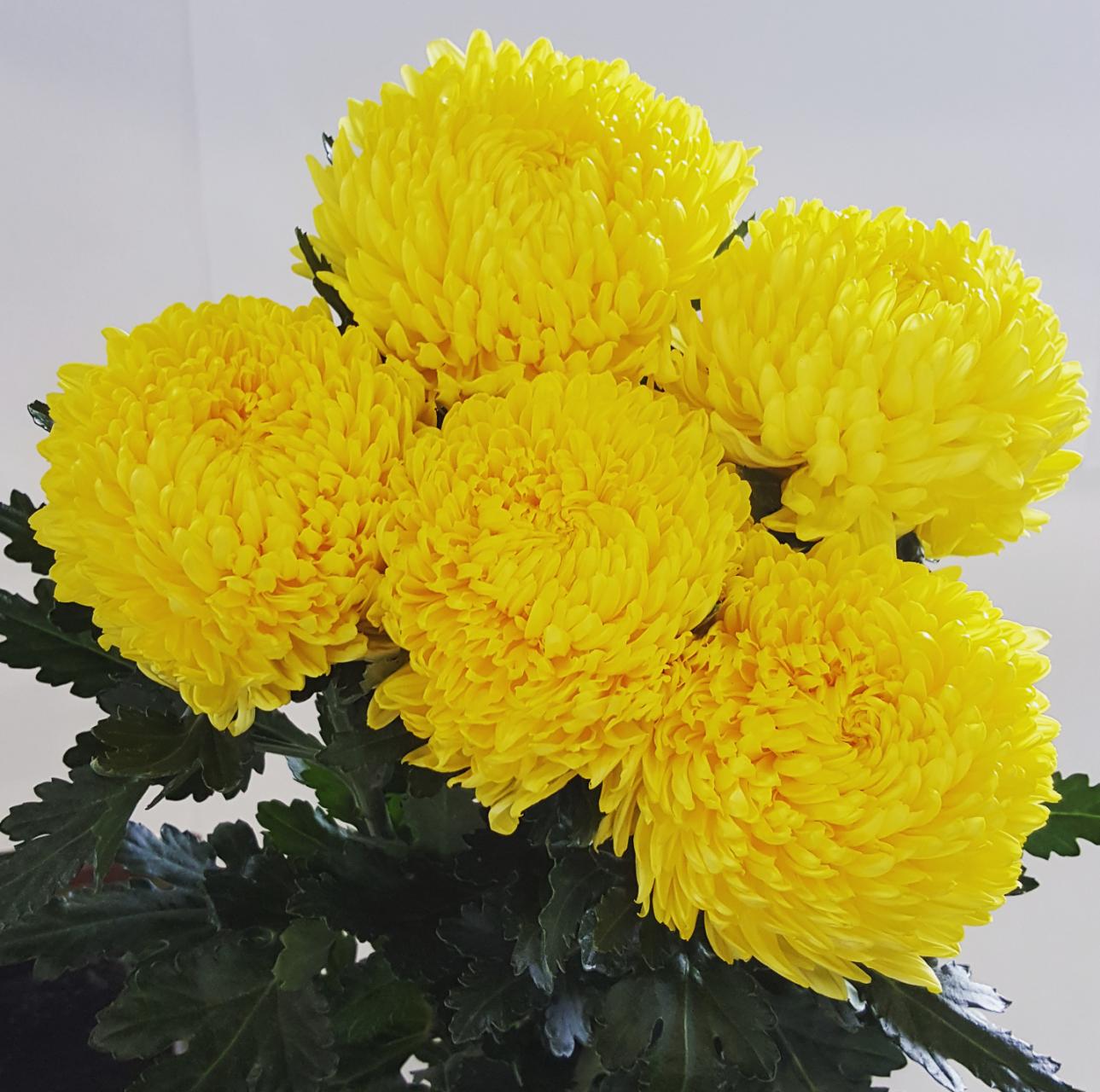 Yellow MUM disbud