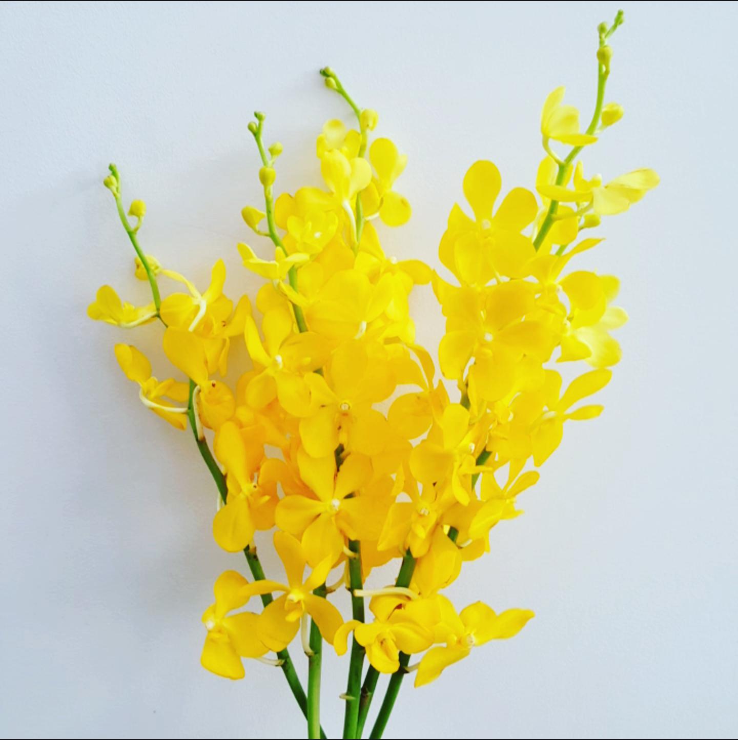 Yellow vanda