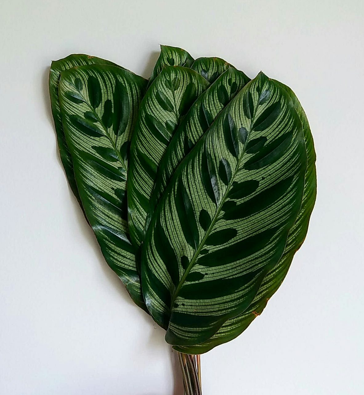 Calathea Leaves