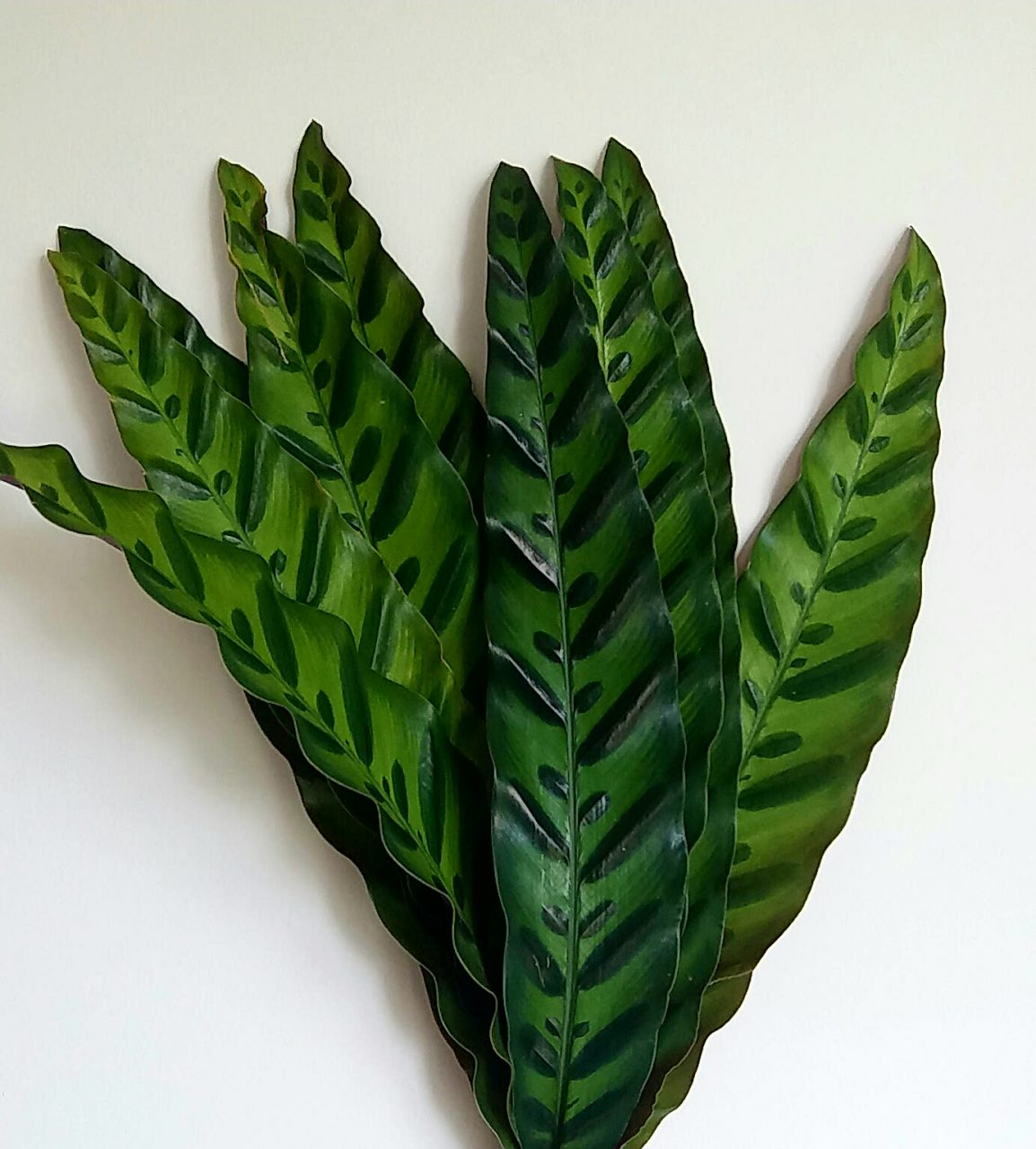 Peacock Leaves