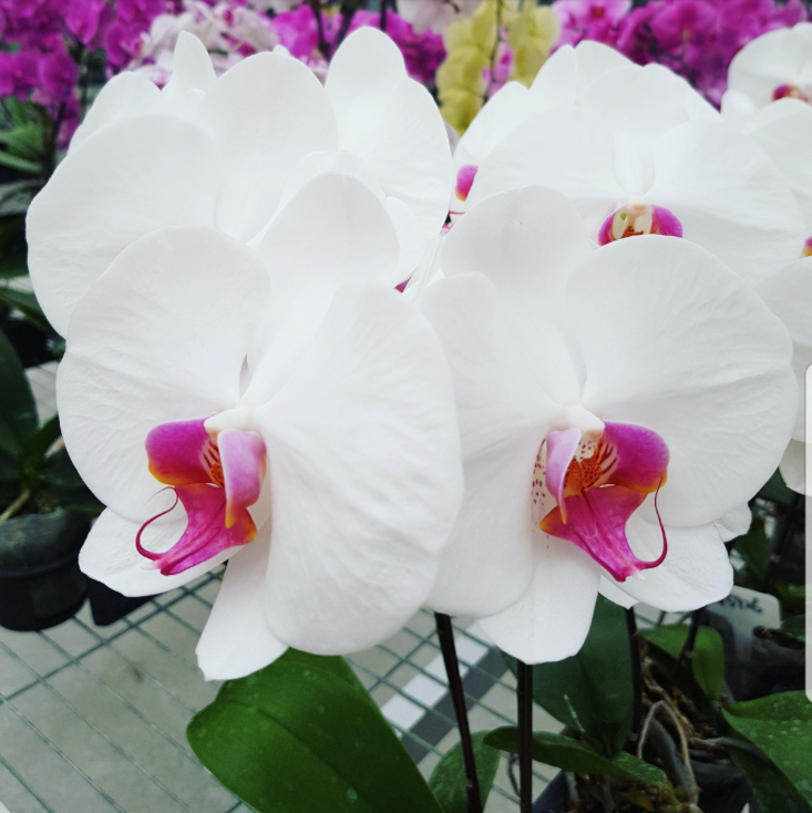 Phalaenopsis Plants White Red Lip
