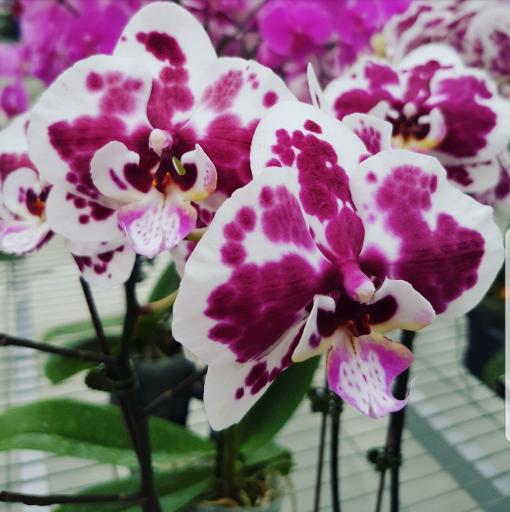 Phalaenopsis Plants White Burgandy Splash