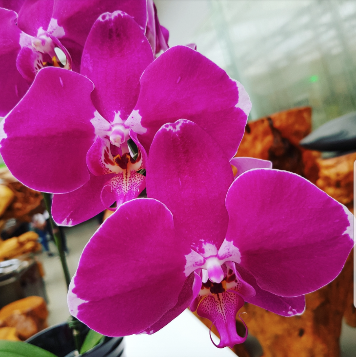 Phalaenopsis Plants Hot Pink White Edge
