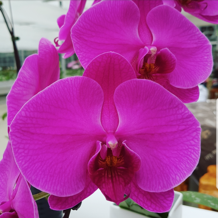 Phalaenopsis Plants Hot Pink