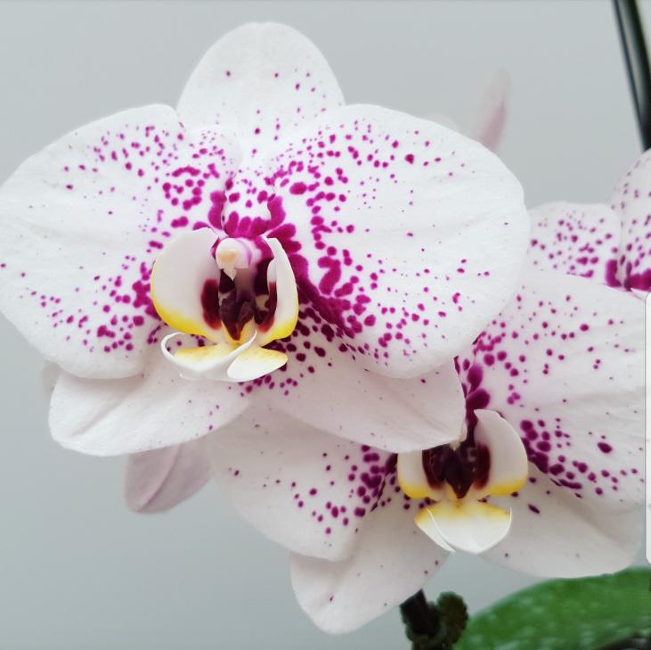 Phalaenopsis Plants White Mirco Dalmation