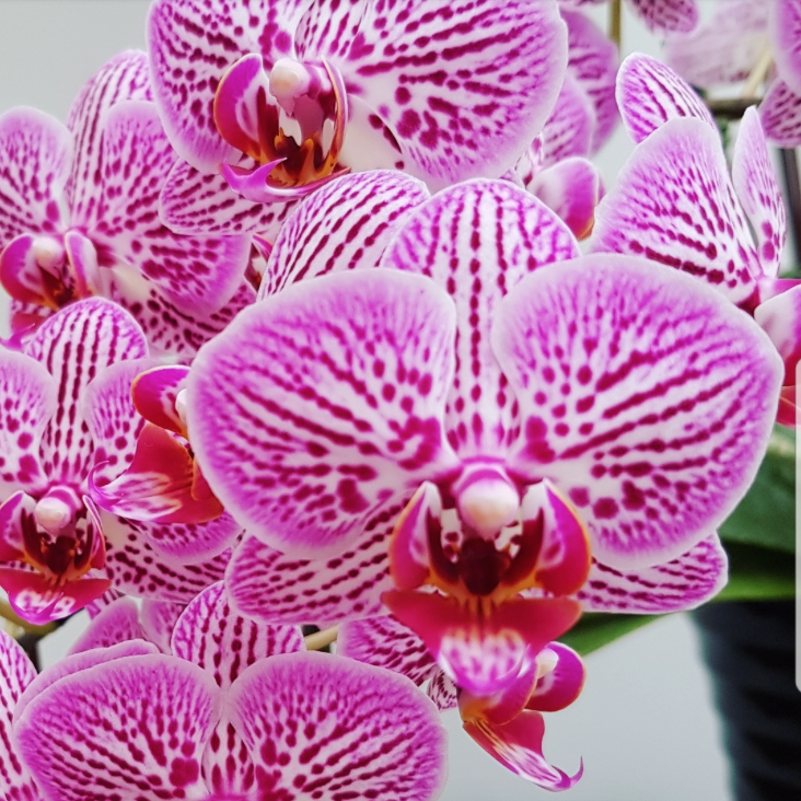 Phalaenopsis Plants Pink Striped