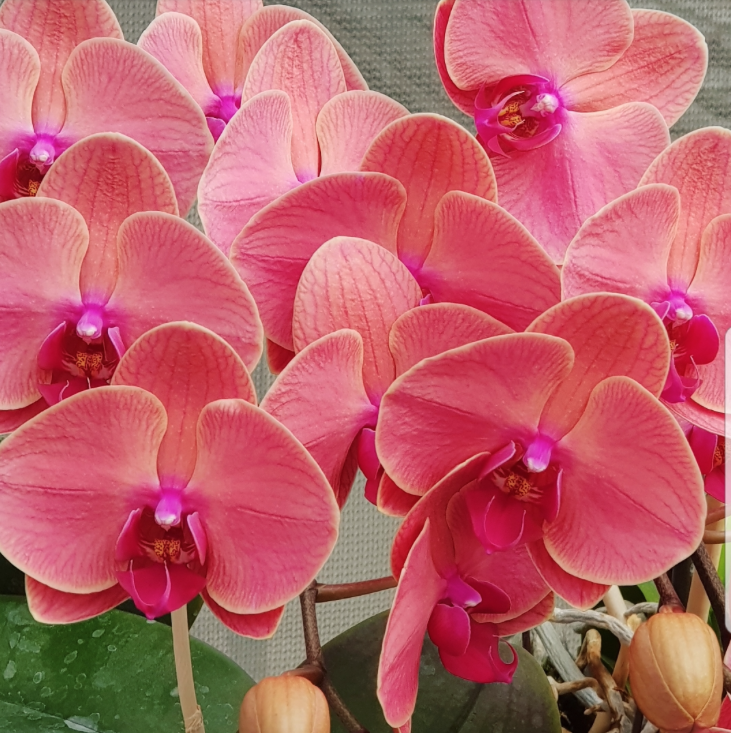Phalaenopsis Plants Orange Red