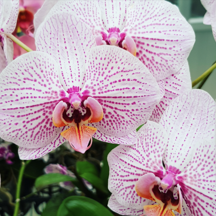 Phalaenopsis Plants Spotted Pink