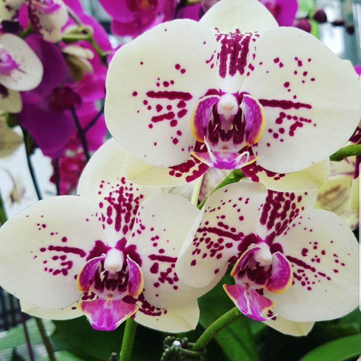Phalaenopsis Plants Lemon Burgandy Spot