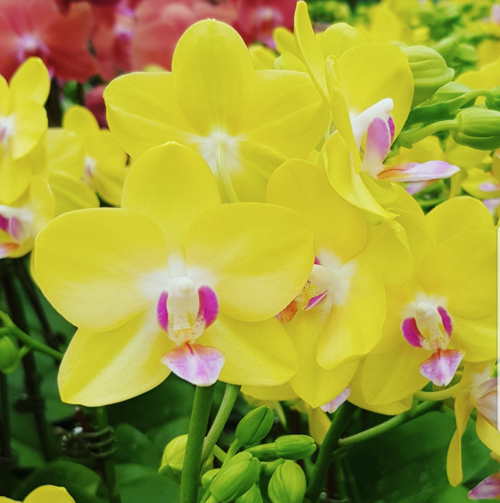 Phalaenopsis Plants Mini Yellow