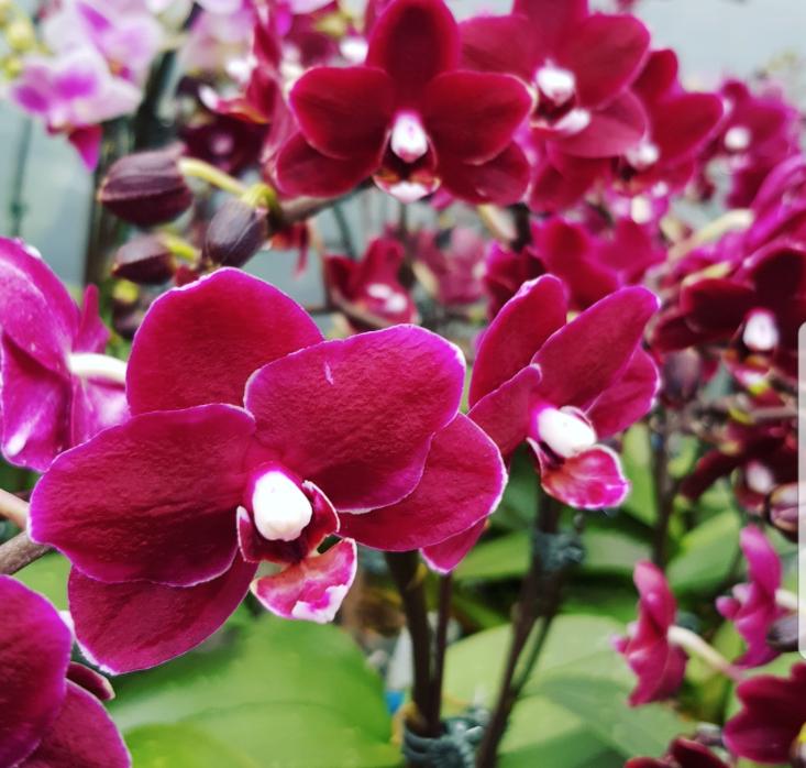 Phalaenopsis Plants Mini Burgundy
