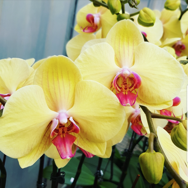 Phalaenopsis Plants Dark Yellow Red Lip