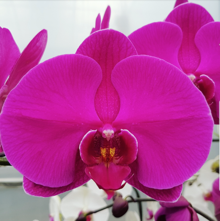 Phalaenopsis Plants Dark Hot Pink