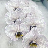 Phalaenopsis Gainsboro cut stems