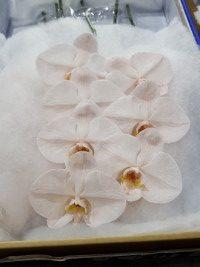 Phalaenopsis Blush Peach cut stems