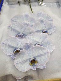 Phalaenopsis Periwinkle cut stems