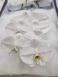 Phalaenopsis Thistle cut stems